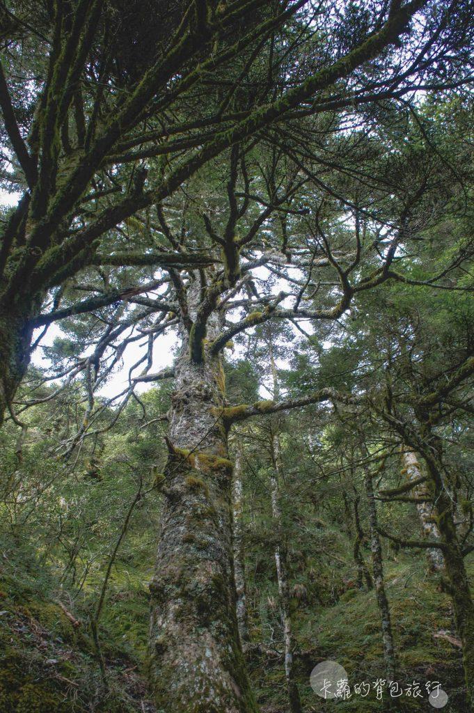 卡蘿的背包旅行-台灣鐵杉