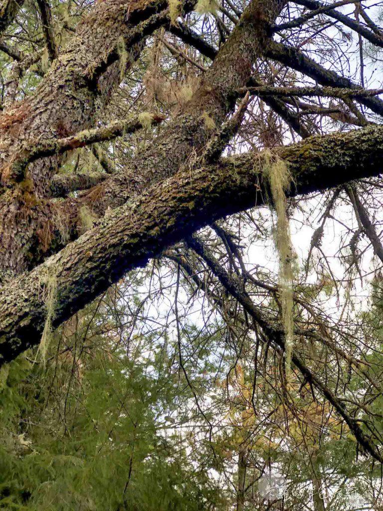 黑森林步道-松蘿