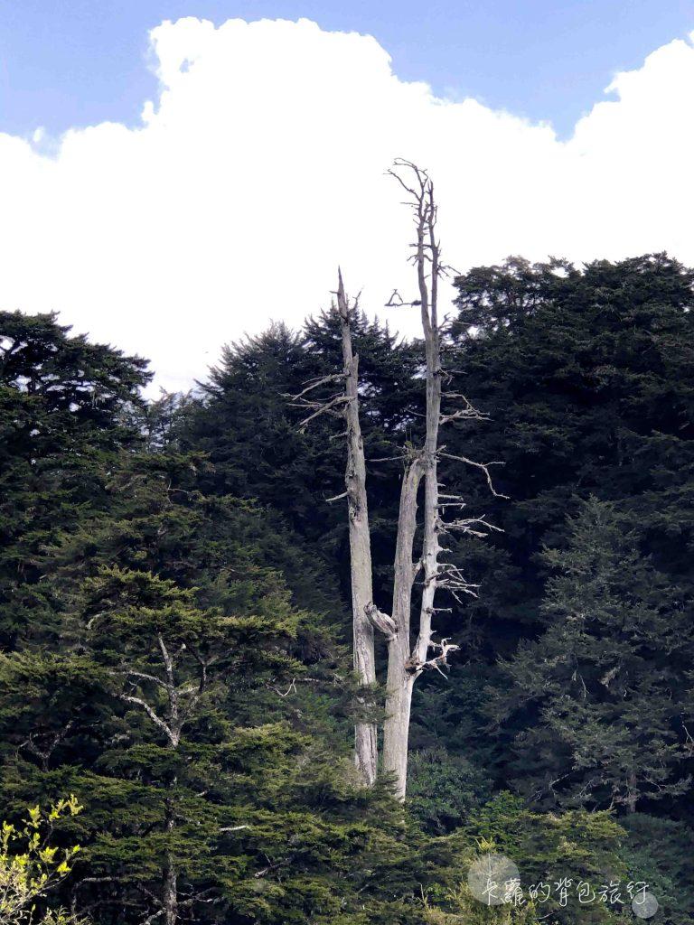 黑森林步道的白木林