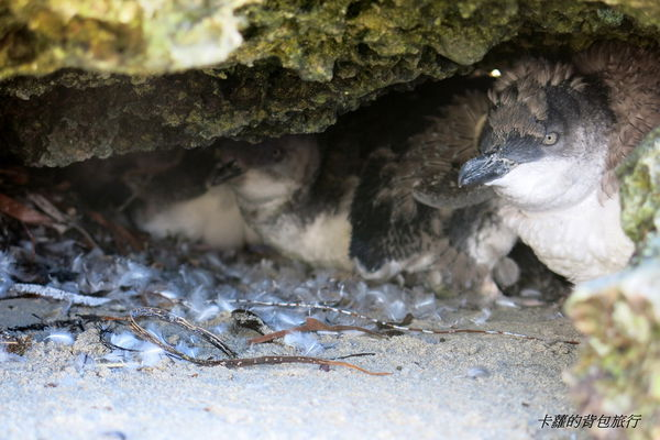 Australia Rockingham ─ 不用搭船走路就可以跳島的 企鵝島(Penguin Island)